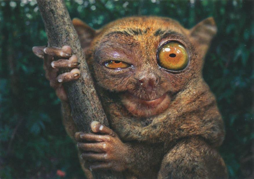 Koboldmaki große Augen wach