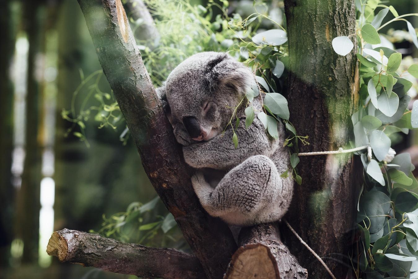 Un koala australiano