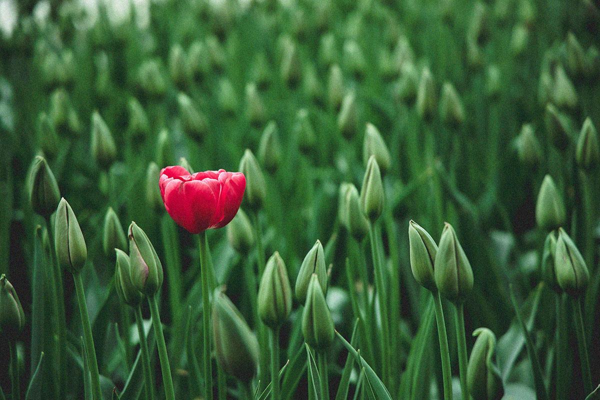 Rote Blume hebt sich von der Masse ab